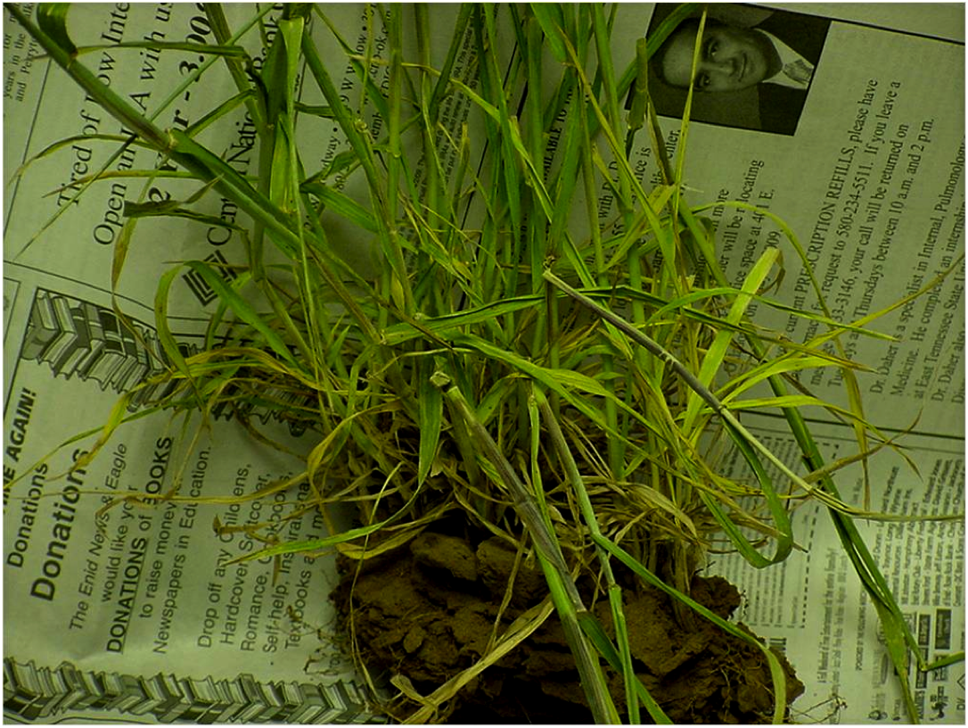 It is common for sub-lethal freeze injury to result in bent or weak lower nodes. These plants might look fine, but will lodge during grain fill.