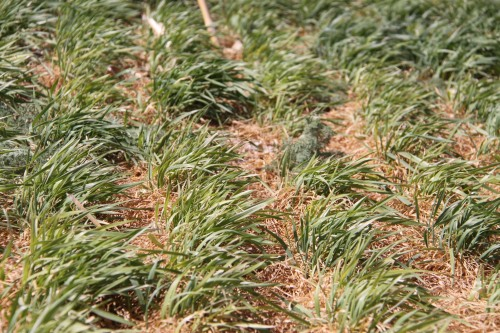Severe freeze injury at or just after jointing can turn the entire plant brown and fields can exude an odor similar to fermenting silage. If conditions are favorable, the plant can produce new tillers (as shown here) and make a partial recovery. It will take a few weeks after a freeze event to determine if the plant will recover from this type of injury