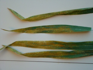 Stripe rust on Duster near Apache OK on 25 April 2013