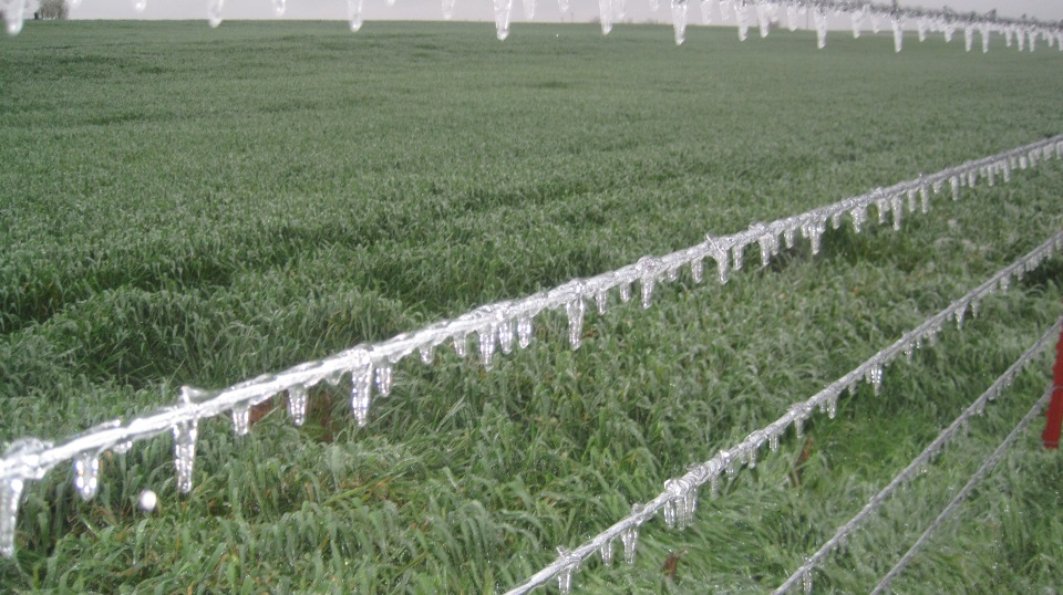 Advanced wheat partially covered by ice at Okarche, OK. Photo courtesy Mike Schulte, Oklahoma Wheat Commission