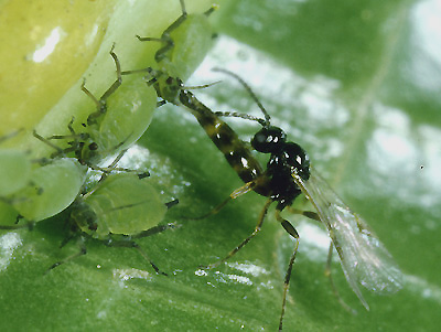 Natural predators can keep greenbug infestations below economic thresholds