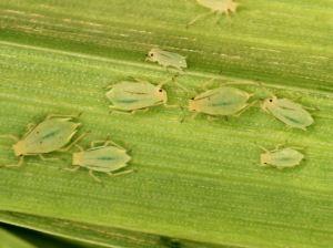 Greenbugs on wheat
