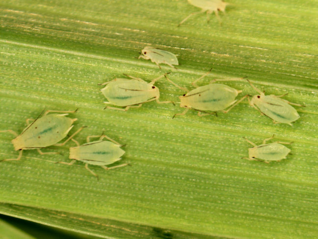 Greenbugs on wheat