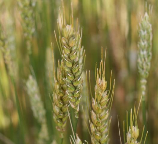 Armyworm damaged wheat heads