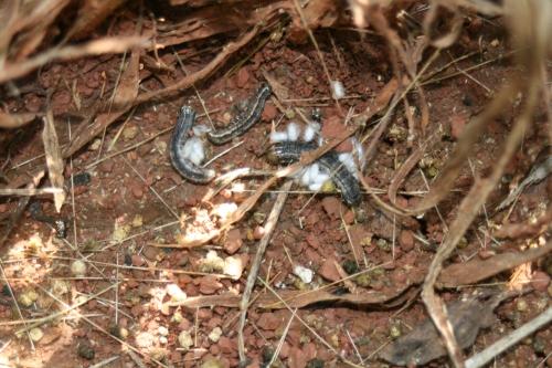 Parasitized armyworms