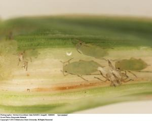 Russian wheat aphids on wheat