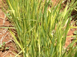 Wheat showing symtoms of Wheat Streak Mosiac Virus. There are no curative sprays for this virus, but it can be avoided by ensuring volunteer wheat and other grasses are dead at least two weeks prior to planting