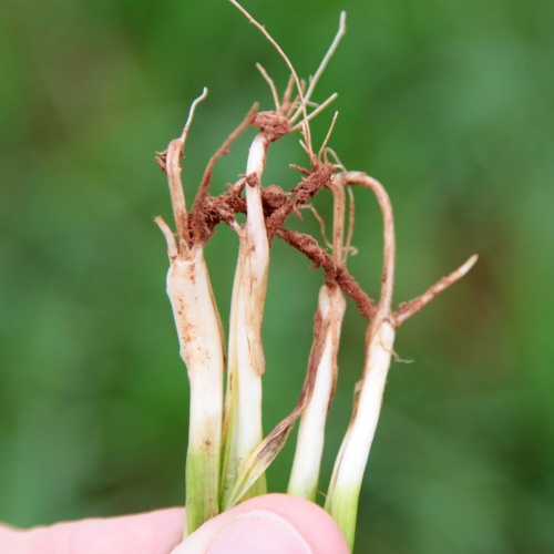 Wheat should not be grazed until enough crown roots are present to anchor the plant in the soil