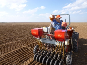 Robert Calhoun and Matt Knori sow the 2013/2014 wheat variety test plots at Alva, OK. Robert is dropping a 60 gram envelope of seed into the cone that will evenly distribute the seed across eight six-inch rows over a distance of 25 ft. The red boxes on the back are for 18-46-0 (DAP). We apply 50 lbs of DAP in furrow at all locations. Photo courtesy Woods County Educator Greg Highfill