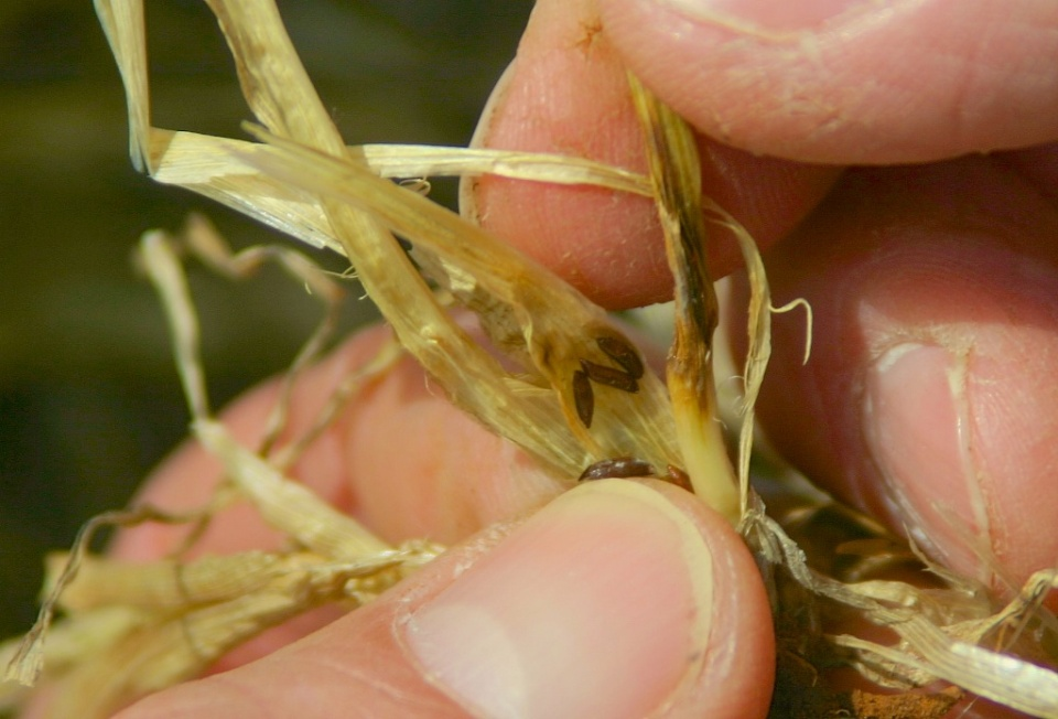 Mature Hessian fly larvae are brown in color and often referred to as flaxseed. Tillers with larvae will not recover and will eventually die and slough off.