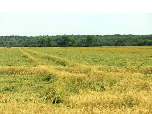 Severe lodging in an Oklahoma wheat field in 2013
