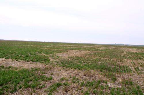 Areas of winterkill in no-till wheat near Alva