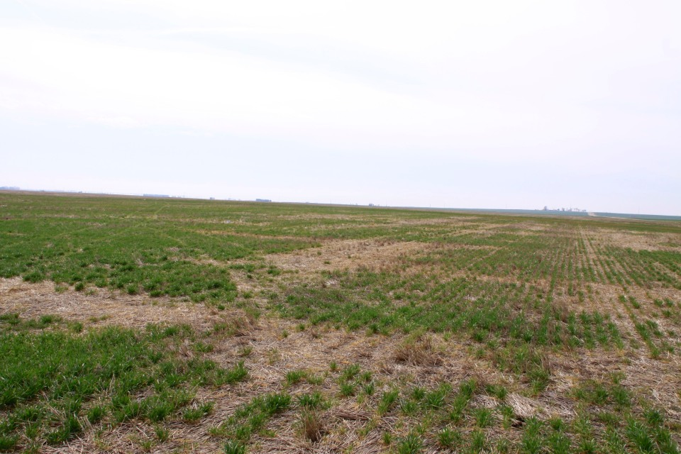 Areas of winterkill in no-till wheat near Alva