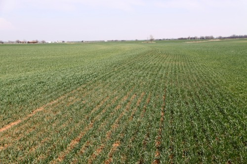 Field affected by winter grain mite south of Enid. Note the silver tint of the wheat on the left side of the terrace.