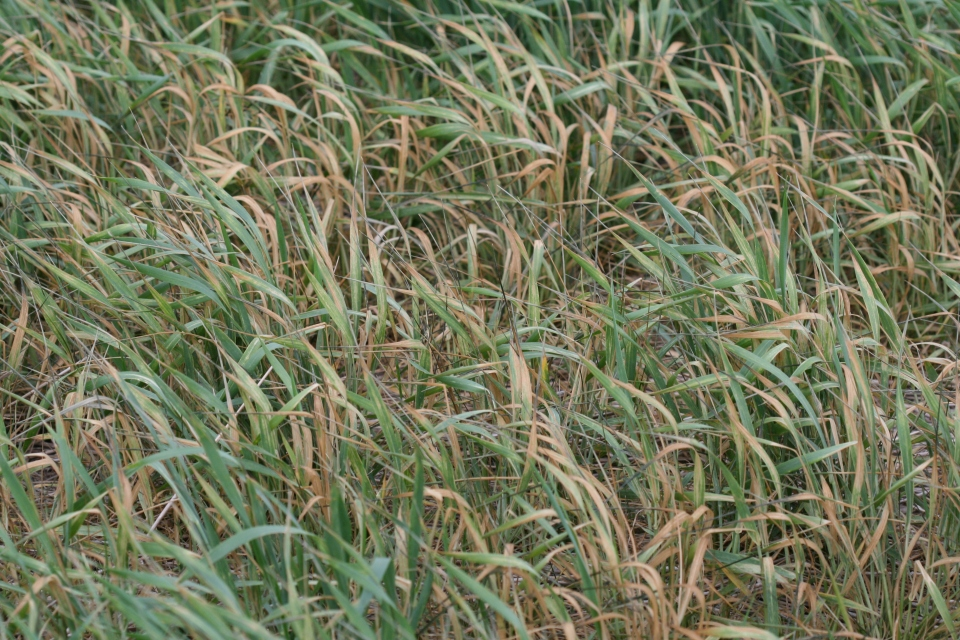 Brown what mite can severely damage wheat that is already stressed due to drought or other adverse environmental conditions.
