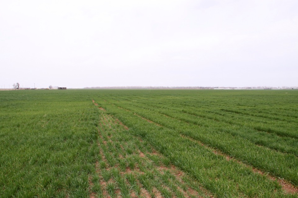 The yellow, stunted areas in our Cherokee variety trial were caused by brown wheat mite
