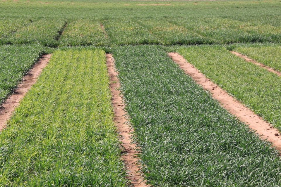 Wheat soilborne mosaic virus can cause yellowing in the spring in susceptible varieties such as the one on the left.