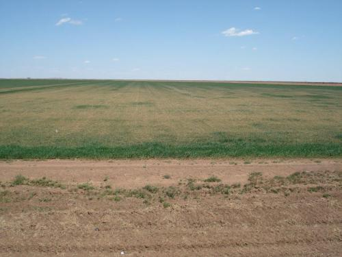 Altus Area Wheat-April 2014 001