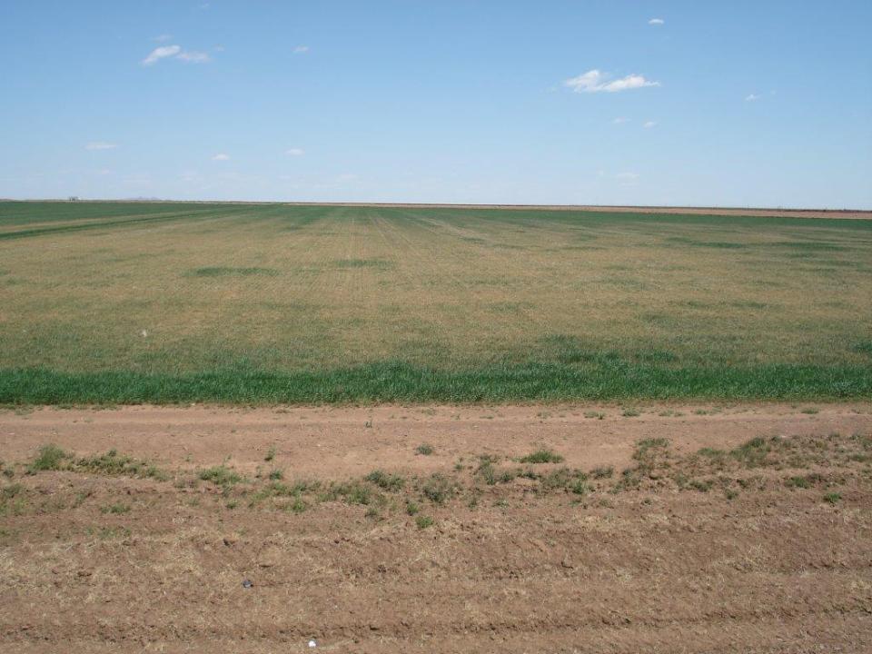 Altus Area Wheat-April 2014 001