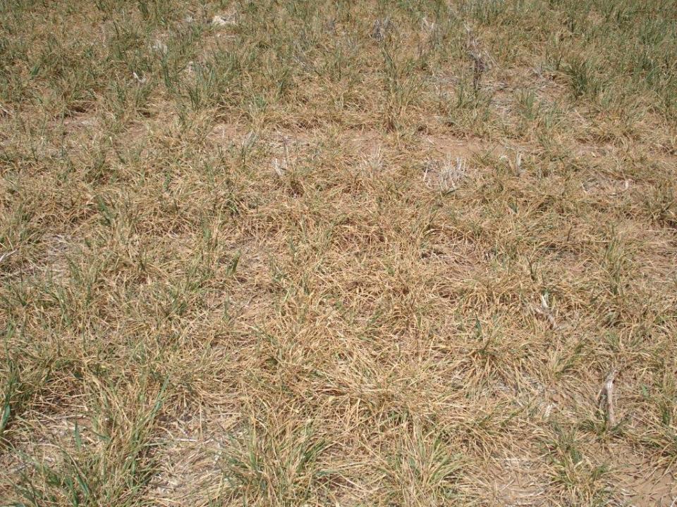 Altus Area Wheat-April 2014 002
