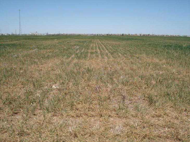 Altus Area Wheat-April 2014 003