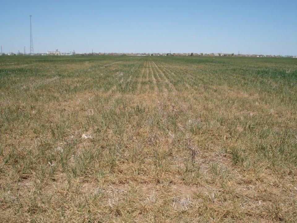 Altus Area Wheat-April 2014 003