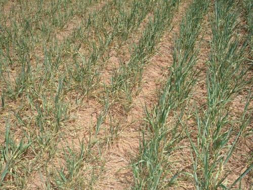 Altus Area Wheat-April 2014 004
