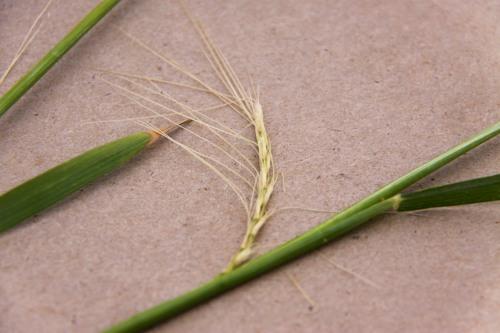 Freeze injured wheat from Marshall, OK