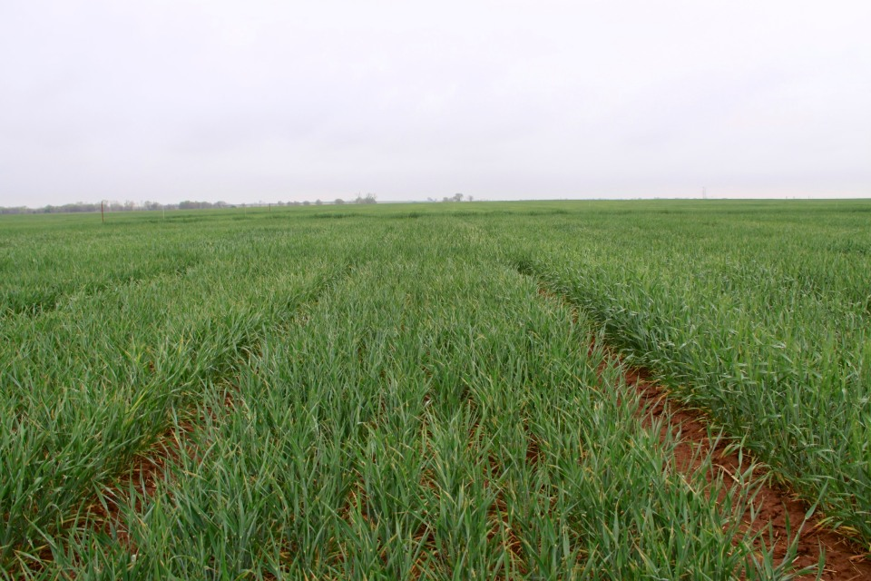 As evidenced by this picture from Marshall, Oklahoma, freeze injured wheat can still have a green appearance. You must split stems to accurately assess injury.