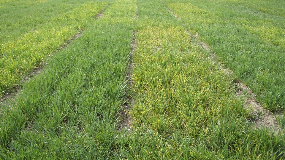 Wheat streak mosaic virus is responsible for yellowing at our Kildare variety trial. All varieties are affected by the disease, but as shown in this picture the severity of the reaction differs somewhat by variety.