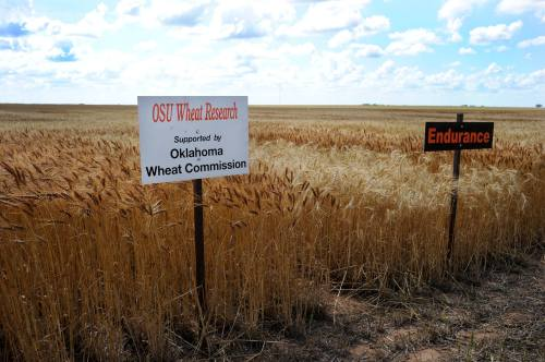 Wheat checkoff dollars make the Oklahoma Wheat Variety Testing program possible. We appreciate the support of our Oklahoma farmers!