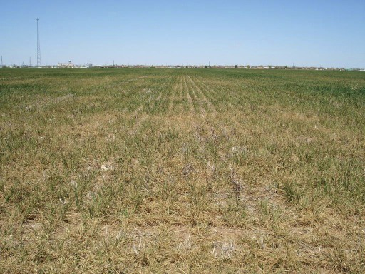 This photo of a wheat field near Altus, Oklahoma in April 2014 shows the level of devastation from the extreme, multi-year drought. Most wheat fields in this region were abandoned due to drought.