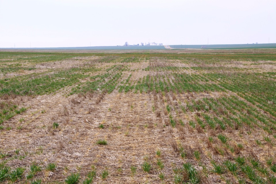 Winterkill was common in northwestern Oklahoma, with the greatest injury occurring in no-till and/or grazed wheat fields.