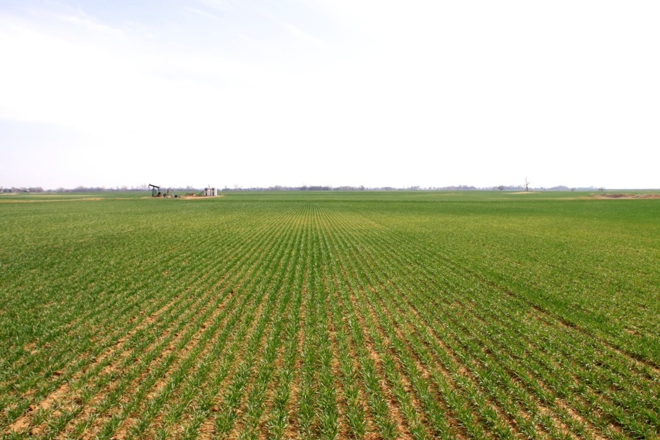 Injury, such as the bronzed areas in the picture above, was the result of brown wheat mite and/or winter grain mite infestations in late winter.