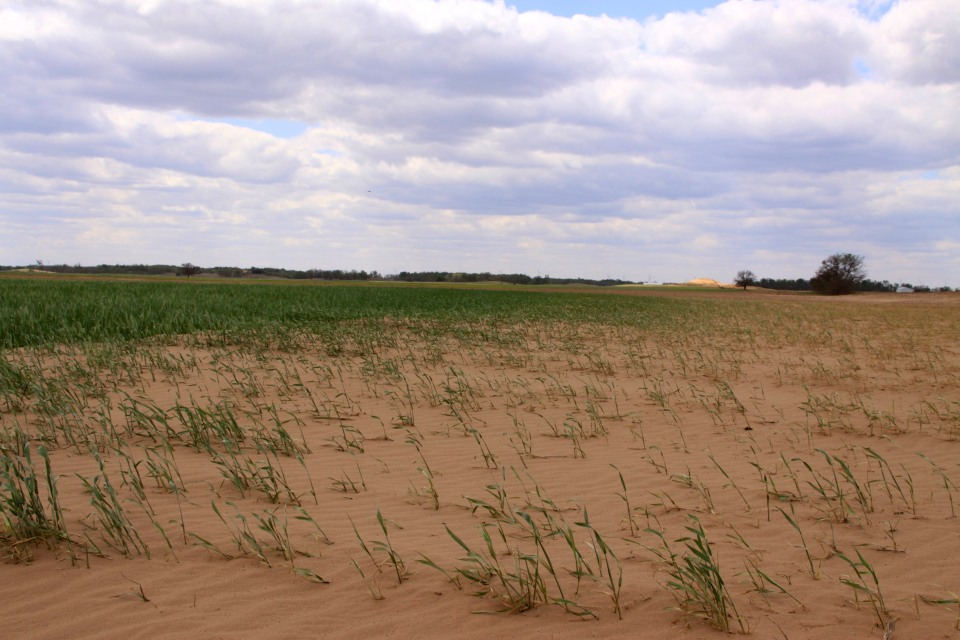 Thin wheat stands left some fields vulnerable to blowing sand and wind erosion