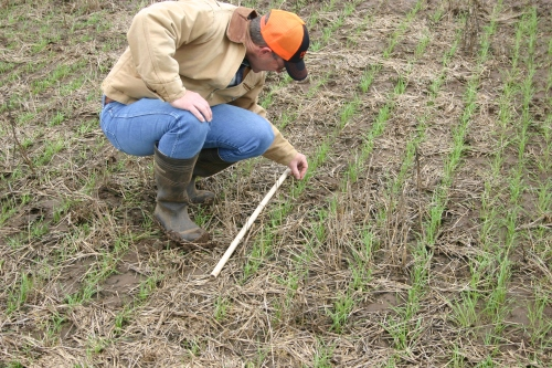 Scouting for winter grain mites requires getting close to the soil surface and moving residue to disturb mites.