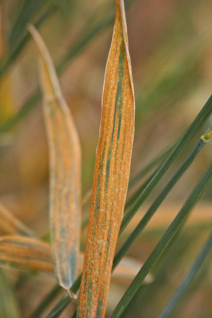 Wheat stripe rust
