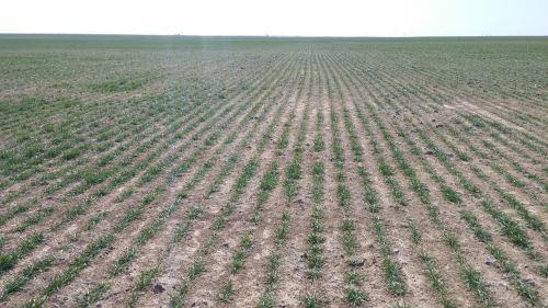 Army cutworm injury in wheat. Photo courtesy Sug Farrington, Cimarron County Extension Educator.