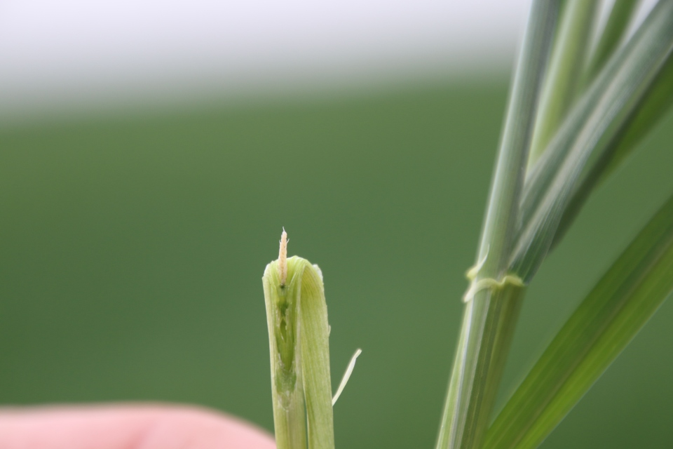 A closeup of the damaged wheat head from the picture above