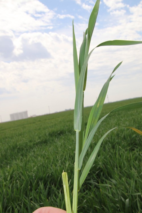Plants that look healthy on the exterior could contain damaged wheat heads