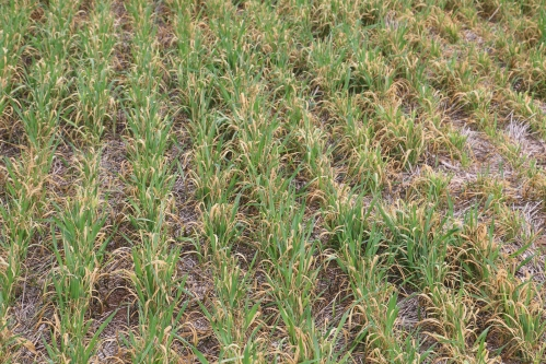 Although freeze injury to plant tissue in this field was severe, the wheat heads were mostly left unscathed