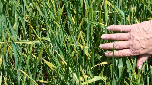 Signs of stripe rust were present in the lower canopy, but stripe rust was not present on flag leaves