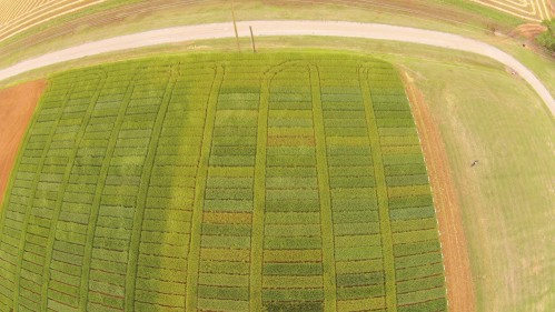 "This overhead shot of the Chickasha intensive and standard wheat variety trials illustrates the severity of stripe rust in the region. The intensively managed trials on the left was treated with a fungicide just prior to heading. The standard trial on the right has the exact same varieties but no fungicide. The ""middle"" replication between the two studies is a border of Ruby Lee that is 1/2 treated 1/2 non treated. Photo courtesy Brian Arnall."