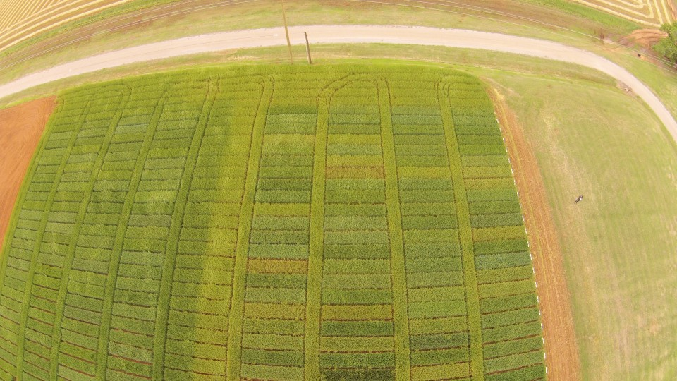 "This overhead shot of the 2015 Chickasha intensive and standard wheat variety trials illustrates the severity of stripe rust in the region. The intensively managed trials on the left was treated with a fungicide just prior to heading. The standard trial on the right has the exact same varieties but no fungicide. The ""middle"" replication between the two studies is a border of Ruby Lee that is 1/2 treated 1/2 non treated."
