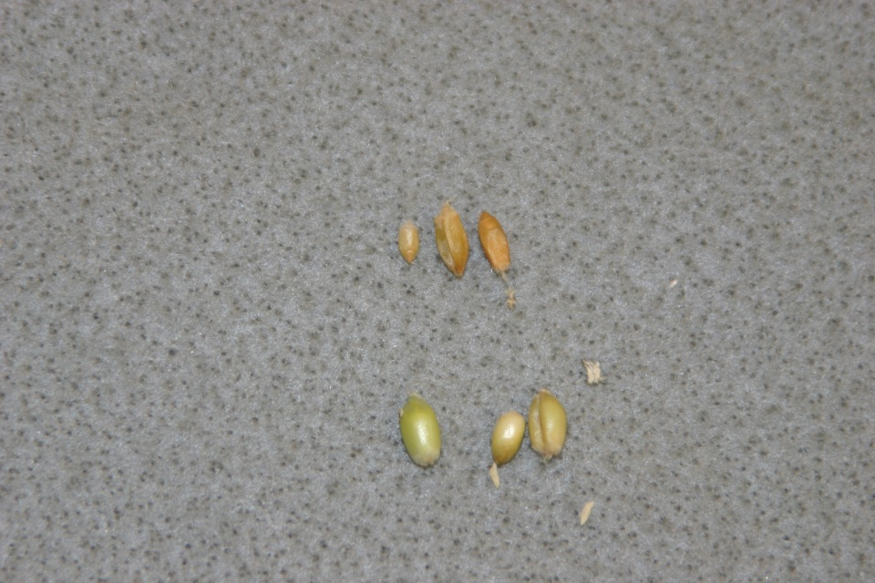 Fusarium head blight infected (top) vs. normal wheat kernels