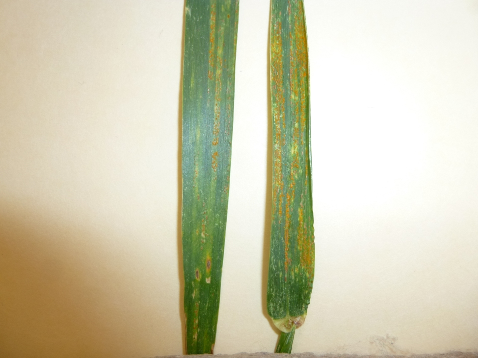 Stripe rust at Alva, Oklahoma. Photo courtesy Greg Highfill