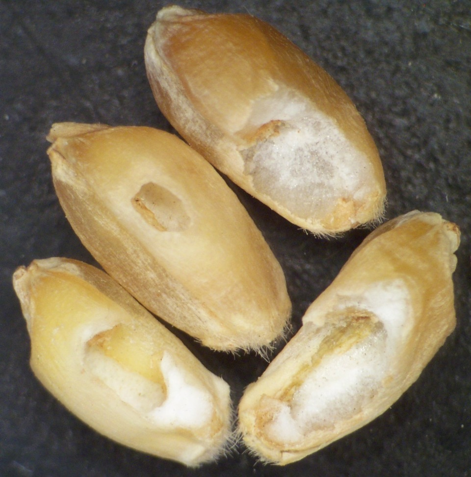 Kernel damage associated with wheat head armyworm