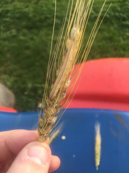 Wheat head army worm