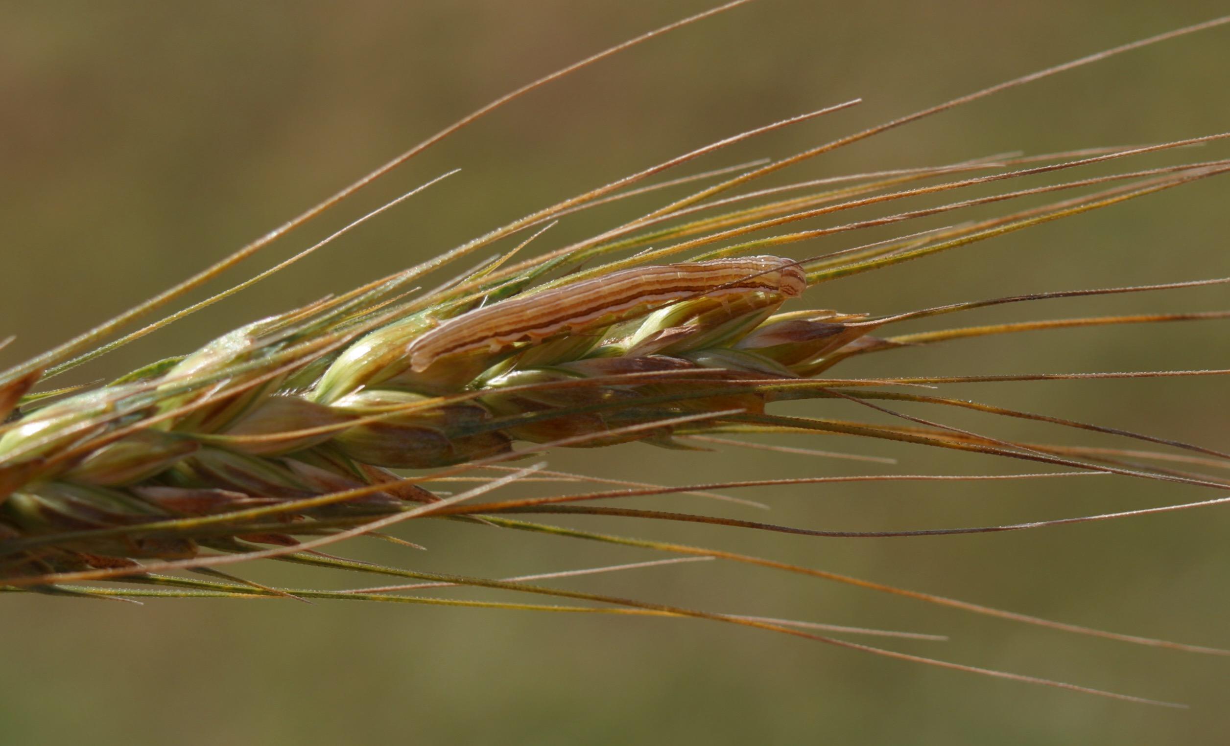 Wheat head armyworm