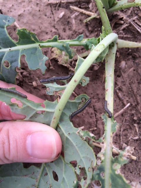 Look for window pane damage in young canola plants. Treatment threshold is one or more worms per foot of row.